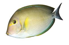 Tropical fish. Tropical reef fish - isolated object Royalty Free Stock Photos