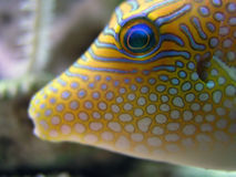 Tropical Fish. Closeup of the front of a  - Canthigaster Margaritata royalty free stock images