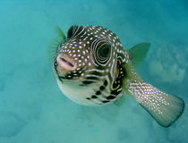 Tropical fish. Tropic fish swimming towards surface Royalty Free Stock Image