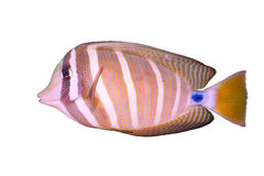 Tropical fish. Tropical saltwater fish,shoot in the aquarium Stock Images