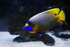 Tropical fish. Angelfish in a Moscow Zoo aquarium Stock Images