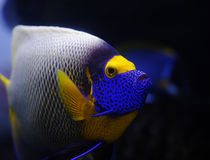 Tropical fish. Angelfish in a Moscow Zoo aquarium Royalty Free Stock Photo