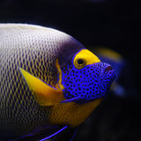 Tropical fish. Angelfish in a Moscow Zoo aquarium Royalty Free Stock Photos