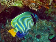 Tropical fish. A colorful tropical fish near a coral Stock Photo
