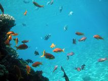 Tropical fish. A colorful tropical mix of small fish near a coral Royalty Free Stock Images