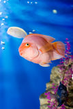 Tropical fish. Close up of tropical fish swimming underwater Stock Image