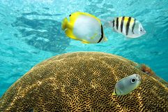 Tropical fish above brain coral Royalty Free Stock Image