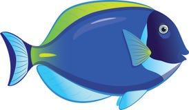 Tropical fish Acanthurus Leucosternon Stock Image