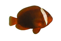 Tropical Fish Amphiprion. Melanopus isolated on white stock photography
