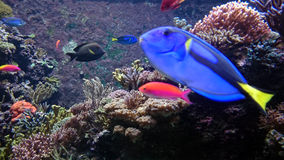 Tropical fish with anemones. The ocean is always teeming with life.  This photo features several colorful tropical fish.  The large blue fish in the foreground Stock Images