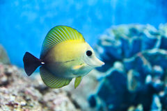 Tropical fish in an aquarium. Stock Images