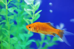 Tropical fish in an aquarium Stock Image