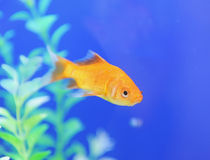 Tropical fish in an aquarium Stock Photos