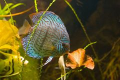 Tropical fish in aquarium Royalty Free Stock Photo