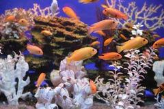Tropical fish, Aquarium. Aquarium with bright small fishes and corals Royalty Free Stock Photo