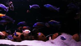 Tropical fish in the aquarium stock video
