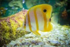 Tropical fish. In aquarium Stock Image
