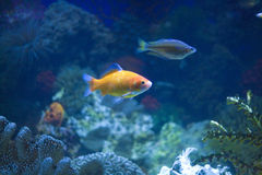 Tropical Fish in an Aquarium Royalty Free Stock Photos