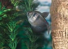 Tropical Fish in aquarium Royalty Free Stock Photo