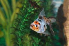 Tropical Fish in aquarium Royalty Free Stock Photography