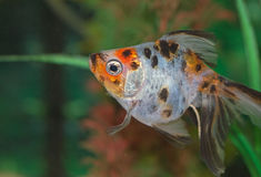 Tropical Fish in aquarium Stock Images