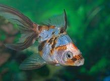 Tropical Fish in aquarium Royalty Free Stock Images