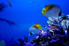 Tropical Fish in Aquarium Stock Image