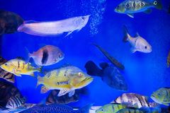 Tropical fish in aquarium Stock Photography