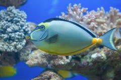 Tropical fish in aquarium Royalty Free Stock Photos