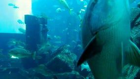 Tropical fish in the aquarium. In Dubai stock video footage