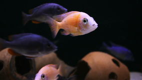 Tropical fish in an aquarium stock video footage