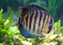 Tropical fish aquarium Royalty Free Stock Photo
