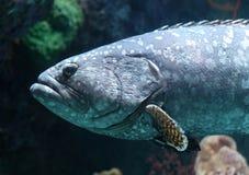 Tropical fish in aquarium at ocean, sea salt creature. Big fish in aquarium beautiful animal at ocean. Unique marine animal stock photos