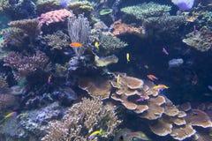 Tropical fish in an aquarium royalty free stock image
