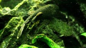 Tropical fish in the aquarium. Planted aquarium with tropical fish stock video footage