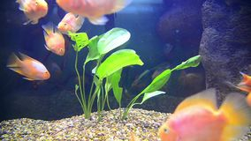 Tropical fish in aquarium undervater stock footage