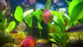 Tropical fish in aquarium undervater. Tropical fish and corals in the aquarium undervater stock video