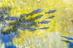Tropical fish in artificial lake Royalty Free Stock Photo