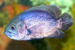 Tropical fish Astronotus Stock Photos