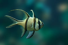 Tropical fish Banggai cardinalfish Stock Image