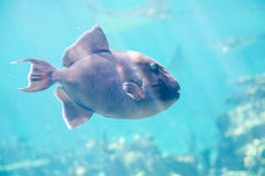 Tropical fish. It is a beautiful tropical fish stock photo