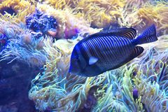Tropical fish. Royalty Free Stock Images