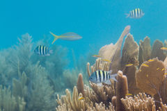 Tropical fish in Belize Stock Photography