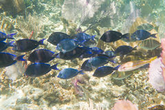 Tropical fish in Belize Royalty Free Stock Photo