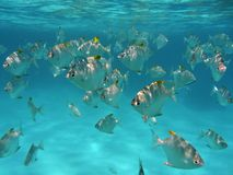 Tropical fish. A bench of tropical fish in a clear and transparent blue water on a white sand bottom. Fish are silvery grey with yellow fins. They swim near a Royalty Free Stock Photo