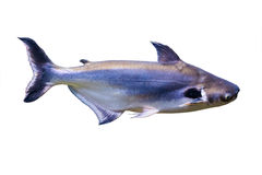 Tropical fish Black ear catfish, lives in rivers of Southeastern. Asia stock photography