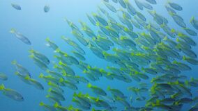 Tropical fish in the blue ocean. Leyte, Philippines.