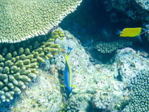 Tropical fish blue surgeonfish and over coral reef in Indian Oce. Tropical fish powder blue surgeonfish or blue tang over coral reef in Indian Ocean waters Royalty Free Stock Image