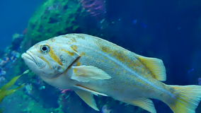 Tropical fish blue water closeup stock video footage