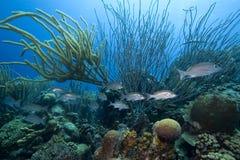 Tropical fish, Bonaire Royalty Free Stock Photo